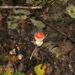 Jauna Paprastoji musmirė (Amanita muscaria L.)