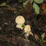 Jaunos Paprastosios musmirės (Amanita muscaria L.)
