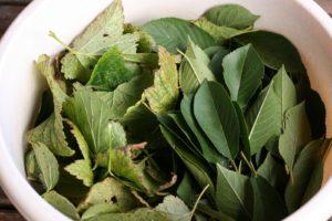 Juodųjų srebentų ir vyšnių lapai