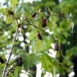 Karkvabaliai graužia klevo lapus