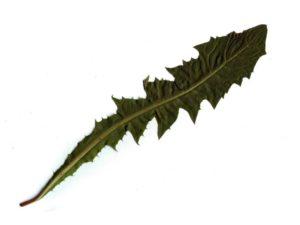 Kiaulpienės lapas