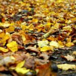 Nukritę liepų lapai