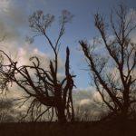 Pavargę paupio medžiai
