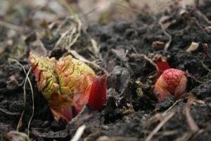 Rabarbaras pavasarį