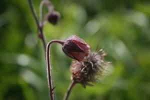 Raudonoji žiognagė žydi