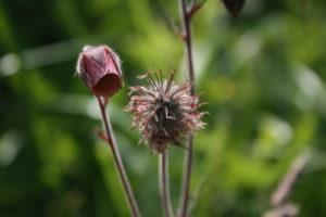 Raudonosios žiognagės žiedas ir bręstančios sėklos