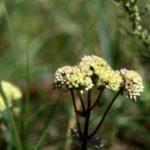Šilokas – labai medingas augalas