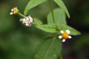 Smulkiažiedė galinsoga barsto sėklas