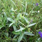 Vaistinio godo žolė